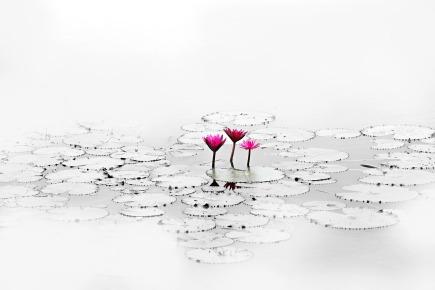 lotus-1700557_1920
